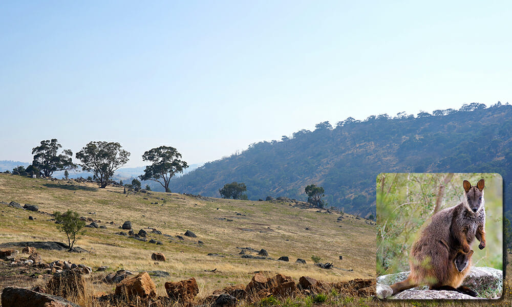 Large hilly area with grass, rocks and trees. Overlay image of Wallaby