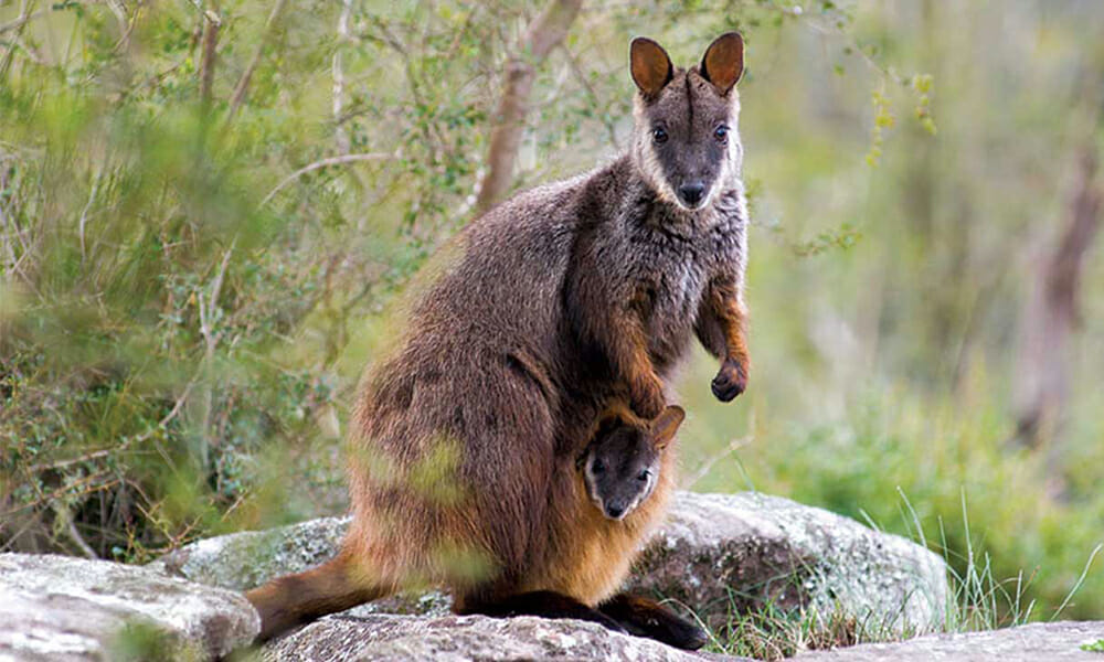 Female Wallaby with child in pouch, looking at the camera on top of rock