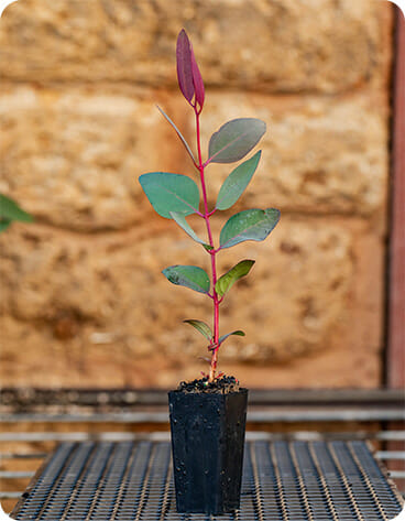 Reforest Mt Rose Project - Seedling for Biodiversity and Carbon Reduction 1