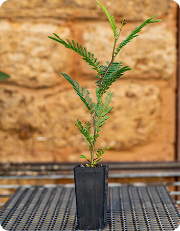 Reforest Mt Rose Project - Seedling for Biodiversity and Carbon Reduction 3